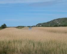 broadwater-reeds